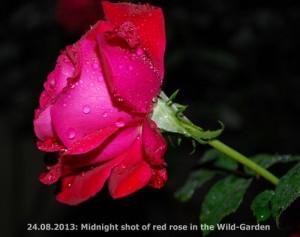 Red Rose-Wild-Garden